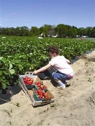 Child Strawberry Picking at Duffield Farm