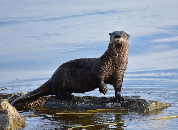 A river otter standing on a log submerged in the water.