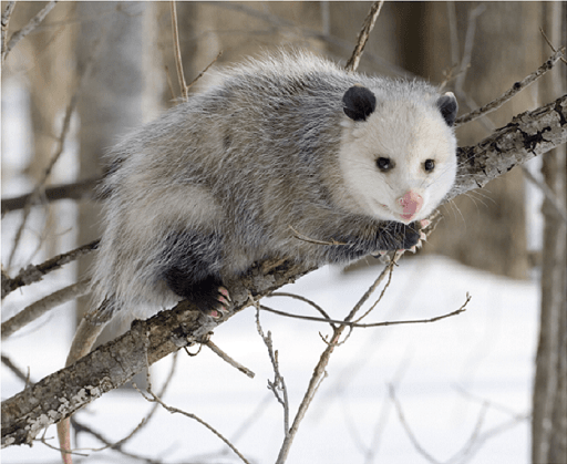 A virginia opossum sitting on a branch with snow on the ground.